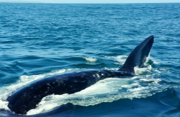 Como é uma baleia nadando casualmente